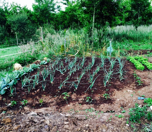 Typical Portugese veggie garden
